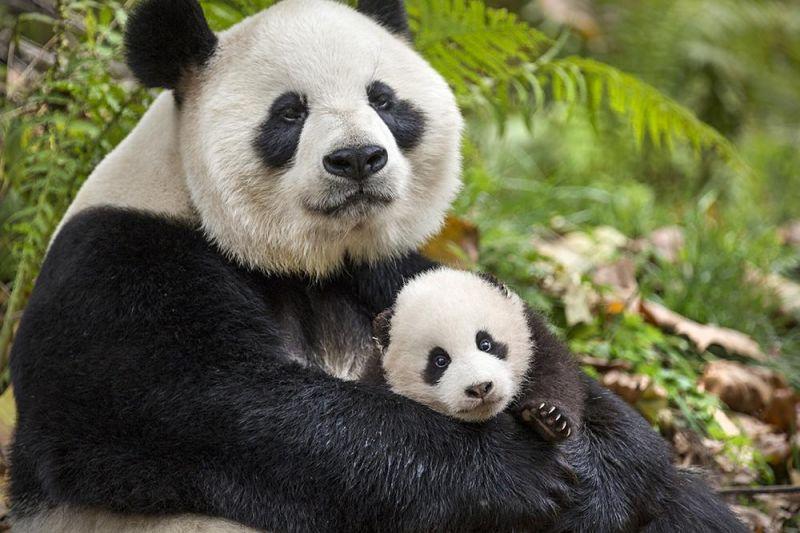 В китайских национальных парках нельзя делать селфи с пандами