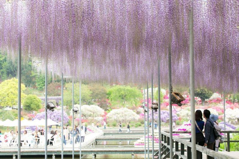 Фестиваль глицинии в Японии