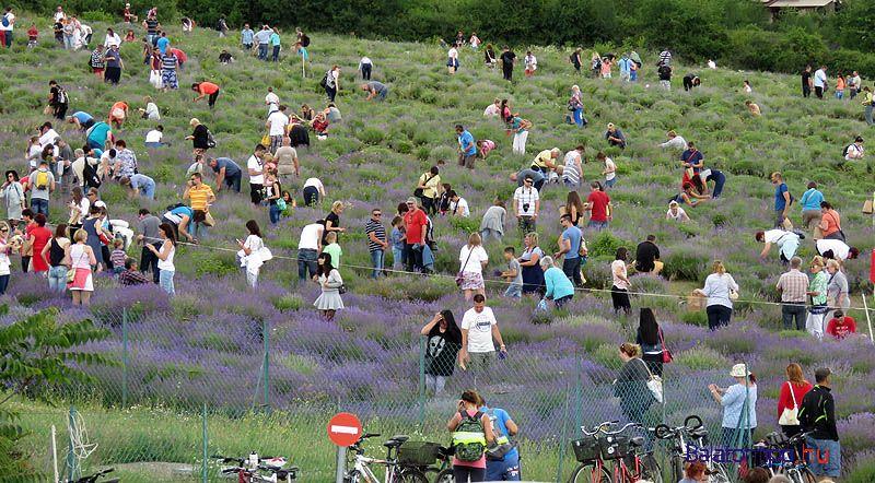 Фестиваль лаванды пройдет в Венгрии