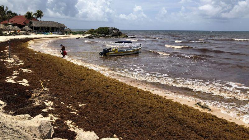Курорты Мексики страдают от саргасс
