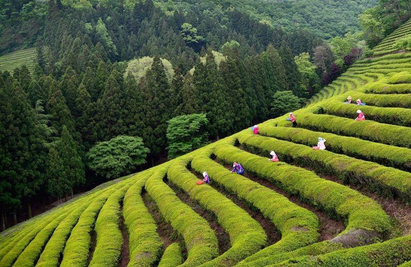 В Южной Корее пройдет праздник зеленого чая