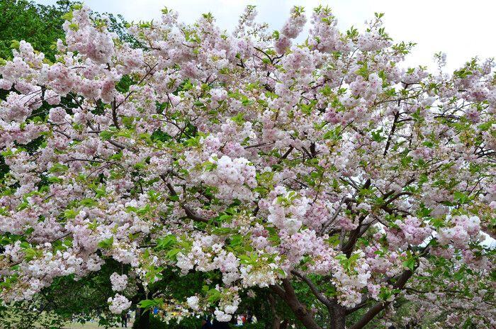 Цветение сакуры в Японии назначено на более ранние сроки