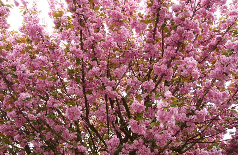 Традиционный фестиваль любования цветущей сакурой отменен в Японии